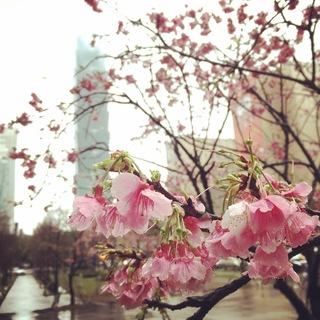 101櫻花