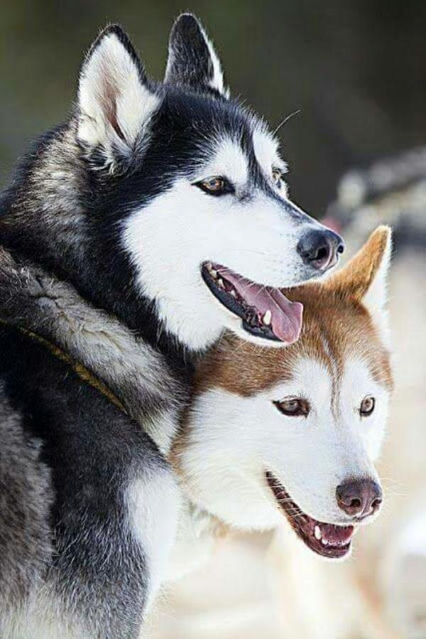 "perfectdoggy5566 on DIITU Communities ""perfectdoggy"". From https://communities.diitu.com/post/Husky-145732031591119"