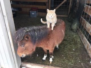 騎遍農場所有動物的霸道貓