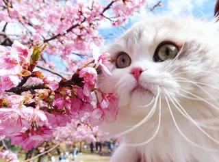 櫻花x貓貓=大心