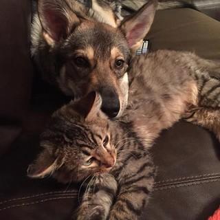 被狗狗領養的貓